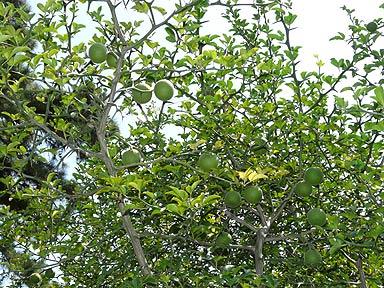 Beijing Massage Lemon Parlors Tree